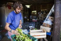 Man packing fresh salad into bags — Stock Photo