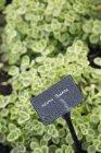 Plants growing in vegetable garden — Stock Photo
