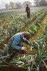 Men harvesting cauliflowers. — Stock Photo