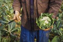 Hombre que sostiene una coliflor cosechada - foto de stock