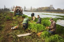 People harvesting autumn vegetables — Stock Photo