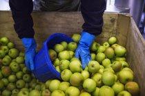 Homem que escava maçãs — Fotografia de Stock