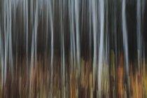 Foresta di pioppi in autunno — Foto stock