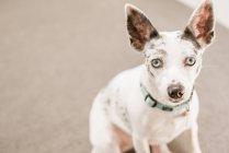Маленькая собака с синим воротничком — стоковое фото