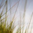 Erba di mare spazzato dal vento — Foto stock