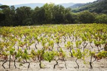 Vines growing in clearing. — Stock Photo