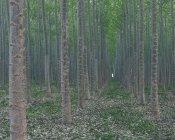 Piantagione di alberi di pioppo — Foto stock