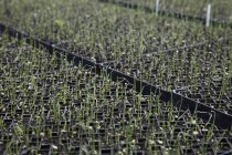 Plantes de semis en pots — Photo de stock