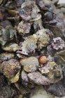 Tas de coquilles d'huîtres — Photo de stock