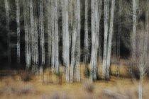 Espenbäume mit hellen Baumstämmen — Stockfoto