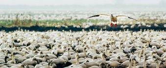 Гуска біла летить над пастви — стокове фото