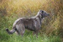 Scottish Deerhound im Feld sitzen. — Stockfoto