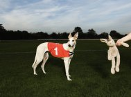 White greyhound wearing red bib — Stock Photo