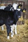 Два bllack і білі корови — стокове фото