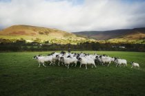 Troupeau de moutons en cours d'exécution sur Prairie — Photo de stock