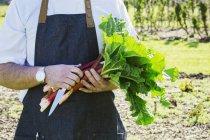 Hombre cosecha ruibarbo fresco - foto de stock