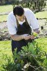 Человек собирает свежие овощи — стоковое фото