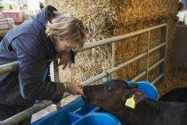 Woman touching black calf. — Stock Photo
