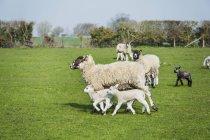 Petit troupeau de moutons et d'agneaux — Photo de stock