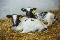 Due vitelli bianchi e neri — Foto stock