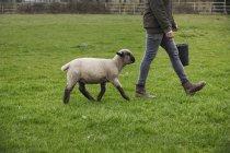 Contadino che cammina a stretto contatto con le pecore . — Foto stock