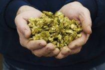 Mains humaines tenant du houblon — Photo de stock