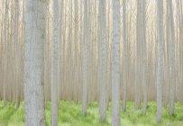 Commercially grown poplar trees. — Stock Photo