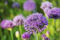 Flores de alho roxo. — Fotografia de Stock