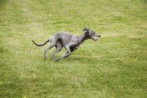 Schwarzer Windhund Lwan quer — Stockfoto