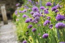 Allium piantato lungo il sentiero — Foto stock