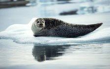 Sigillo grigio sdraiato sul ghiaccio — Foto stock