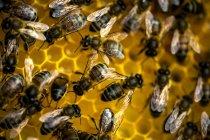 Abelhas em cima do favo de mel . — Fotografia de Stock