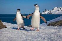 Pareja de pingüinos de barbijo - foto de stock