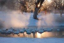 Cygne chanteur dans le parc enneigé — Photo de stock