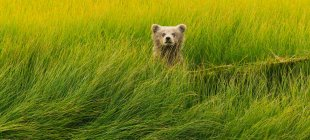 Brown Bear Cub in Grasgrün — Stockfoto
