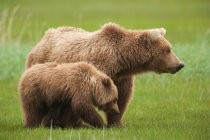 Orso Bruno con il cub — Foto stock