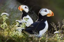 Pair of horned puffins — Stock Photo