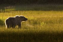 Brown bear roaring — Stock Photo
