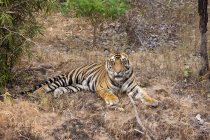Tiger lying on dry grass — Stock Photo
