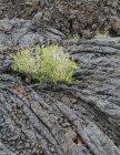 Green plant growing among rocks — Stock Photo