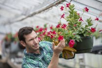 Man working in organic nursery greenhouse. — Stock Photo