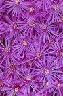 Flores de mesem rosa, marco completo . - foto de stock