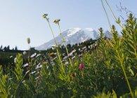 Prado de flores silvestres con Mount Rainier en el Parque nacional en Washington, Estados Unidos - foto de stock