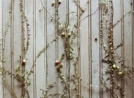 Plantas de amora espalhando-se na parede de madeira — Fotografia de Stock