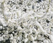 Close-up of white frothy cherry blossoms. — Stock Photo