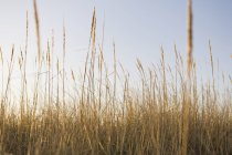 Close-up of windswept dune grass in natural meadow. — Stockfoto