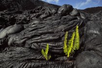 Ferns sprouting in cooled lava cracks, Hawaii Volcanoes National Park, Hawaii — Stock Photo