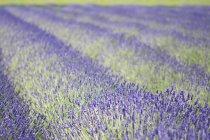 Reihen von aromatischen lavendelpflanzen blühen im Feld — Stockfoto