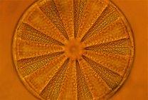 Естественный рисунок оранжевого диатома, крупным планом . — стоковое фото