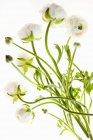 Zarte Blüten mit langen, dünnen Stielen auf weißem Hintergrund. — Stockfoto